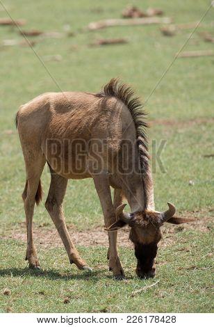 Migration of Wildebeest (scientific name: Connochaetes taurinus or