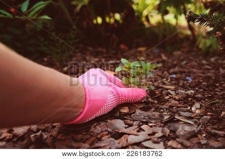 Gardener Hand In Glove Removing Weeds From Garden Bed