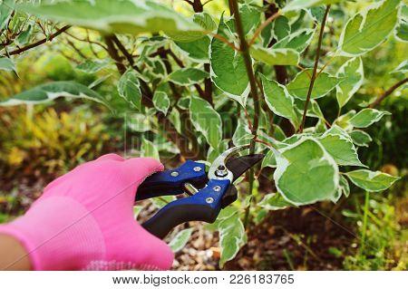 Pruning Cornus Alba (dogwood) Shrub In Summer