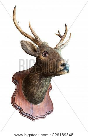 Stuffed Deer Head Taxidermy On Wooden Board For Decoration Isolated On White Background With Clippin