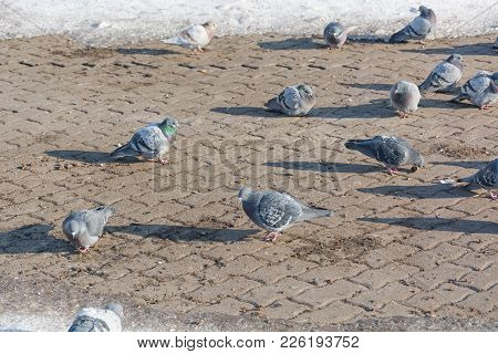 Pigeons Are Heated In The Winter. Birds Are Warming Themselves In The Winter. Many Pigeons Sit In Th