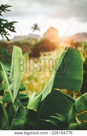 Hipnotising Sunset Behind Mountain Range. Bananaleavs And Sugarcane In The Foreground. Santo Antao C