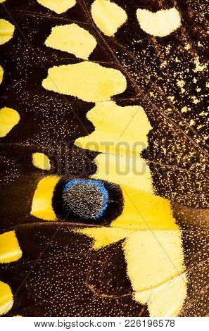 Macro of a wing of a Citrus swallowtail (Papilio demodocus) is a brown and yellow butterfly living in Sub-Saharan Africa.