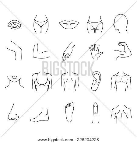 Line Human Male And Female Body Parts Vector Set. Anatomy Body Part, Contour Leg And Breast Illustra