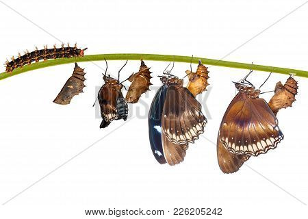 Isolated Transformation From Caterpillar To Great Eggfly Butterfly ( Hypolimnas Bolina Linnaeus ) On