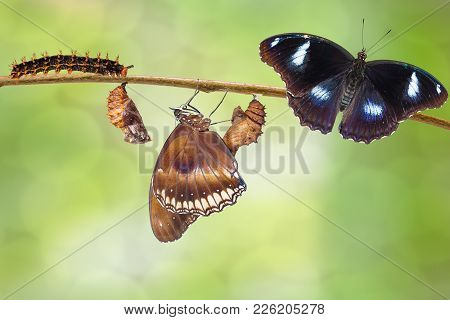 Transformation Of Male From Caterpillar To Great Eggfly Butterfly ( Hypolimnas Bolina Linnaeus ) On