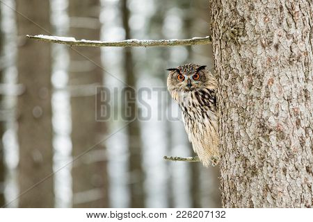 Portrait Of An Eagle Owl, Bubo Bubo. Eagle Owl In The Woods In The Winter Season Sitting On A Branch