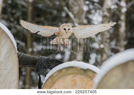 Flying Eurasian Tawny Owl, Strix Aluco, In The Winter Forest Near The Old Cemetery. Czech Republic