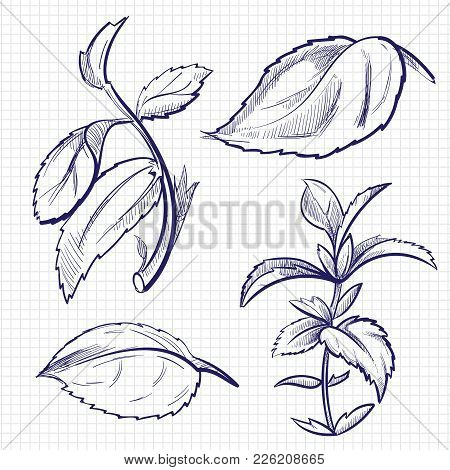 Ballpoint Pen Sketch Of Mint, Medicine Herb Peppermint Leaves On Notebook Background. Pepper Mint Le