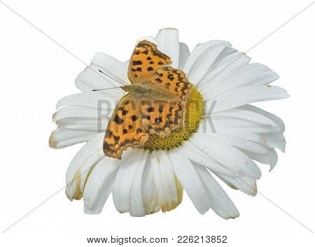 A Close Up Of The Butterfly (polygonia C-aureum) On Flower Of Chamomile. Isolated On White.