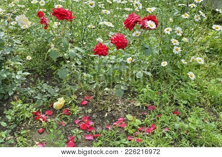 A Close Up Of The Blooming Red Roses With Lying On Ground Petals.