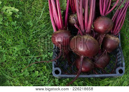 Fresh Beets In Box With Green Tops On Green Grass.