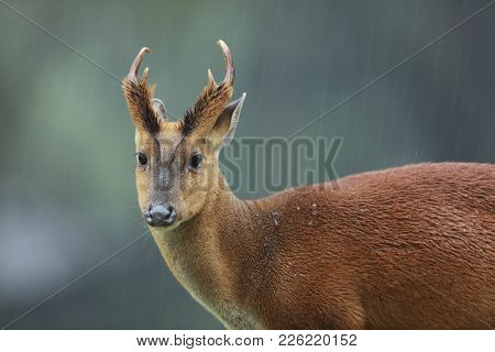 Male Muntjacs, Also Known As Barking Deer And Mastreani Deer, Are Small Deer Of The Genus Muntiacus,