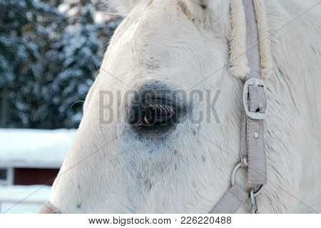 Eye Of The White Horse In Winter. Beautiful Face Horse Thoroughbred On The Background Of Snowy Fores