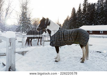 Pinto Horse Winter At Sunset. Beautiful Face Horse Thoroughbred On The Background Of Snowy Forest.