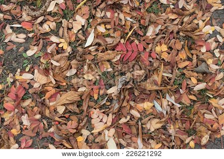 Brown Leaves And Red Berries Of Rowan On The Ground