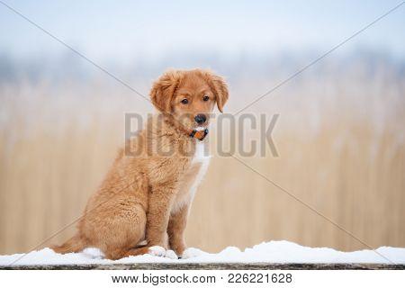 Nova Scotia Duck Tolling Retriever Puppy Outdoors In Winter