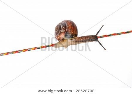 Snail on rope isolated on white background poster
