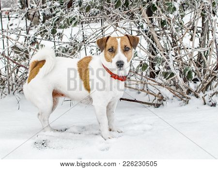 A Cute Curious Dog Jack Russel Terrier Standing On Snow And Looking Into Camera. Cute Doggy Portrait