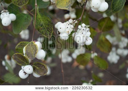 White Berries On Branches Of Symphoricarpos Albus In Autumn