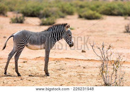 Grevys baby zebra in Samburu national reserve in Kenya
