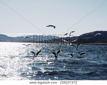 Group Of Hungry Seagulls Diving And Fighting For Dead Fish. Fishing In Sea Bay