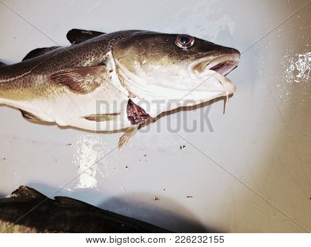 Fish On Slaughterer Table. Worker Cleaning And Filleting Fresh Sea Cod Fish In A Family Factory.