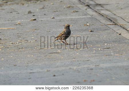 Sturnus Vulgaris Bird Walking In The Garden