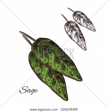 Sage Seasoning Spice Herb Sketch Icon. Vector Isolated Sage Herb Plant For Culinary Cuisine Cooking
