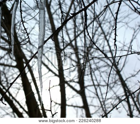The Branches Of The Trees Are Chaotically Intertwined. Icy Icicles Correct A Beautiful Mess.
