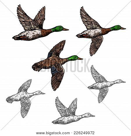 Duck Mallard Wild Bird Vector Sketch Icon. Drake Duck Flying Symbol For Wildlife Fauna And Zoology O