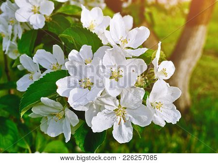 Spring Apple Flowers In Bloom Lit By Soft Sunlight - Spring Flower Background With Apple Tree Branch