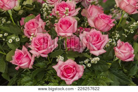 Pink Weding Rose, Persia Species, Decorate In Wedding Party.