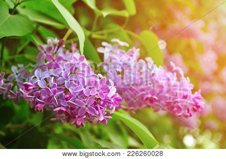 Spring Nature. Pink Bright Lilac Spring Flowers In Spring Blossom - Closeup, Soft Focus And Pastel T