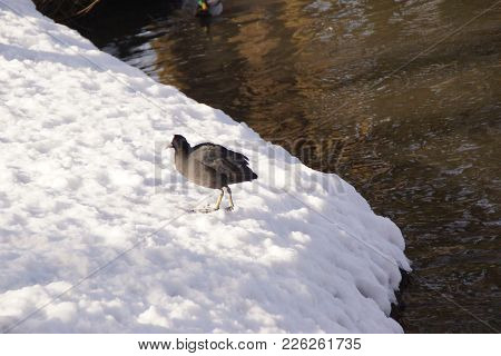 A Pigeon In The Rest Back On The Lake And In The Snow. He Is In The Sun And Does Not Move. Outdoor S