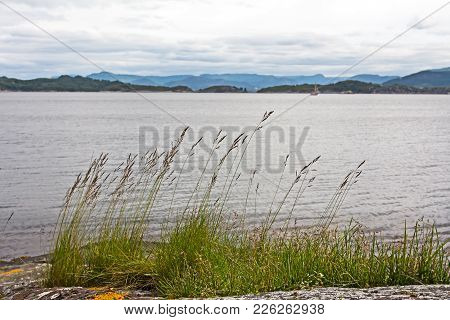Green Grass, With Seeds, Outlined Against The Sea In Norway