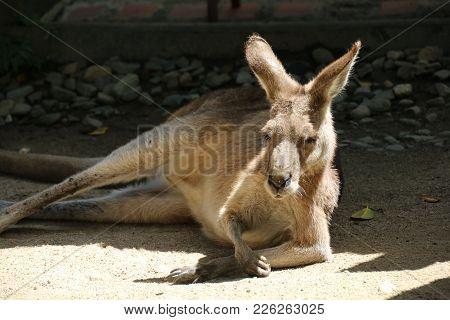 Large Brown Kangaroo Lazing In The Sun