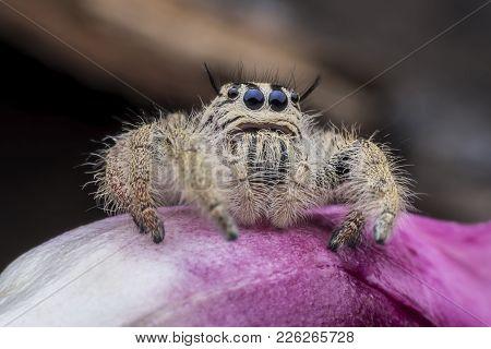 Super Macro Female Hyllus Diardi Or Jumping Spider On Pink Flower