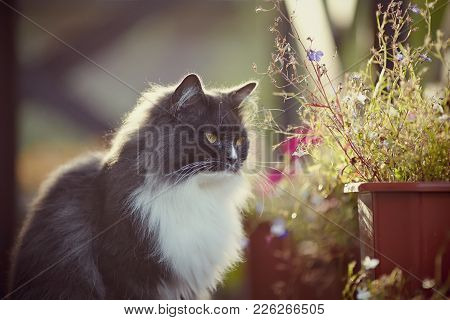 Portrait Of A Fluffy Beautiful Cat Of A Smoky Color With Yellow Eyes.