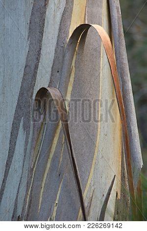 Bark of an australian tree peeling off
