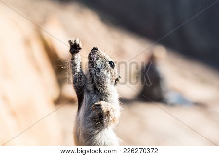 Close-up Shot Of Barbary Ground Squirrel Stretching Front Leg Up In The Air