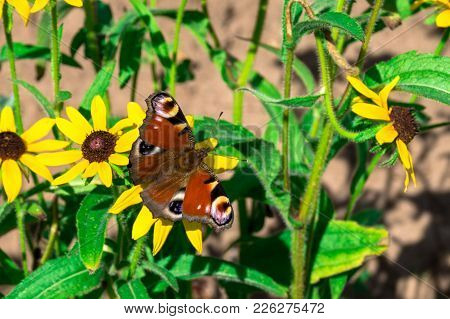 Red Butterfly On The Yellow Flower Of The Green Garden