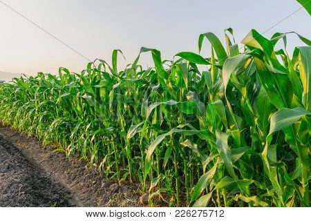 Landscape Of Young Green Corn Field At Thailand Agricultural Garden