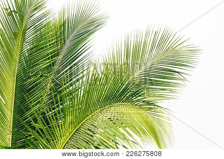 Background Of Green Coconut Palm Leaf On White Sky Background