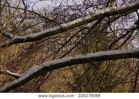A Tree With Some Snow On Branches. There Are Branches Without Snows. Branches Have No Sheet (leaf).