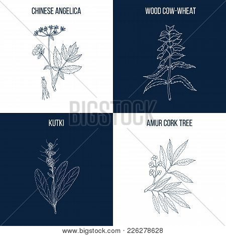 Vector Collection Of Four Hand Drawn Medicinal And Eatable Plants, Chinese Angelica, Wood Cow-weed,