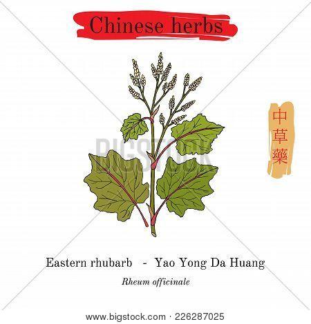 Medicinal Herbs Of China. Eastern Rhubarb Rheum Officinale . Hieroglyph Translation Chinese Herbal M