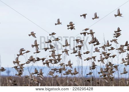 Flock Of Wild Sparrow. Passer Montanus. Flock Of Wild Sparrow.