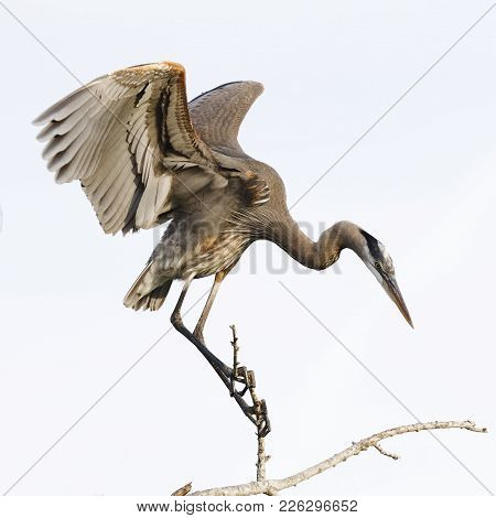 Great Blue Heron Perched On A Branch - Venice, Florida