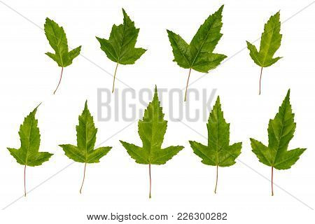 Maple Ginnala. Uneven Maple Leaves. Wrong Maple. Maple Leaves Isolated On White Background. A Set Of